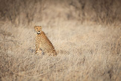 Cheetah sitting in the grass Royalty Free Stock Images