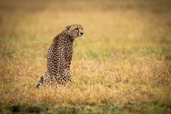 Cheetah sitting in grass with head turned stock images