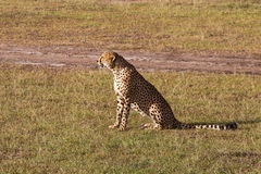 Cheetah sitting. In the grass and looking Royalty Free Stock Photo