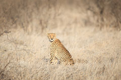 Cheetah sitting in the grass looking at camera Royalty Free Stock Images