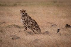 Cheetah sitting in grass surrounded by rocks stock photos