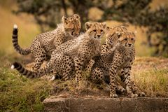 Cheetah sitting on grass with three cubs stock photos