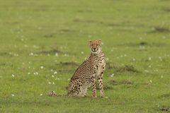 Cheetah sitting on the grasslands of the Maasai Mara. A cheetah sitting at attention on the grasslands of  the Maasai Mara, Kenya Royalty Free Stock Photos