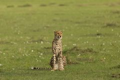 Cheetah sitting on the grasslands of the Maasai Mara. A cheetah sitting at attention on the grasslands of  the Maasai Mara, Kenya Royalty Free Stock Photography