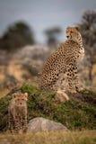 Cheetah sitting on grassy mound with cub stock photos