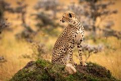 Cheetah sitting on grassy mound looks back stock image