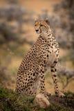 Cheetah sitting on grassy mound looks round royalty free stock photo