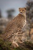 Cheetah sitting on grassy mound turning head stock images