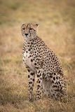 Cheetah sitting in grassy plain looking ahead stock photos