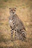 Cheetah sitting in grassy plain turning head stock image