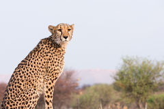 Cheetah sitting on high ground Royalty Free Stock Photos
