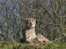Cheetah sitting on hill licking its lips royalty free stock photos