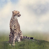 Cheetah sitting on a hill. And looking away Royalty Free Stock Photo