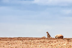A cheetah sitting on the horizon. A cheetah sitting alone with a large blue sky behind Stock Photography