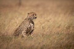Cheetah sitting in long grass facing right stock image