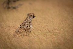 Cheetah sitting in long grass staring right stock images