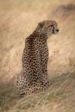 Cheetah sitting in long grass turning right royalty free stock photography