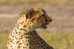 Cheetah sitting and look away Royalty Free Stock Photo