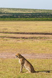 Cheetah sitting and looking. Out over the savanna Royalty Free Stock Images