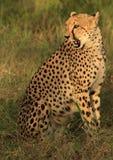 Cheetah sitting in the morning light. Full portrait Royalty Free Stock Photo