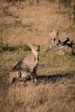 Cheetah sitting near cub standing on log royalty free stock photography