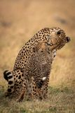Cheetah sitting and nuzzling cub on grass royalty free stock photo
