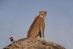 Cheetah sitting on a rock Stock Photography