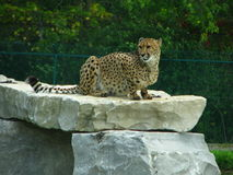 Cheetah sitting on a rock ledge. African cheetah sitting on a rock ledge waiting for prey at the zoo on a savannah safari Royalty Free Stock Photography