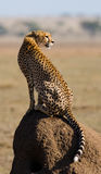 Cheetah sitting in the savanna. Close-up. Kenya. Tanzania. Africa. National Park. Serengeti. Maasai Mara. Stock Image