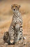 Cheetah sitting in the savanna. Close-up. Kenya. Tanzania. Africa. National Park. Serengeti. Maasai Mara. An excellent illustration Stock Photo