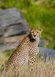Cheetah sitting in the savanna. Close-up. Kenya. Tanzania. Africa. National Park. Serengeti. Maasai Mara. An excellent illustration Stock Photos