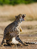 Cheetah sitting in the savanna. Close-up. Kenya. Tanzania. Africa. National Park. Serengeti. Maasai Mara. An excellent illustration Stock Images