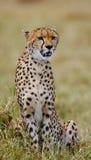 Cheetah sitting in the savanna. Close-up. Kenya. Tanzania. Africa. National Park. Serengeti. Maasai Mara. An excellent illustration Royalty Free Stock Images