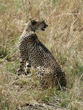 Cheetah sitting in the savannah Stock Photography