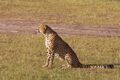 Cheetah sitting on the savannah Stock Photos
