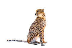 Cheetah Stock Images
