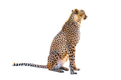 Cheetah sitting. Side view, on white background, isolated Stock Photo