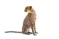 Cheetah sitting. Side view, on white background, isolated Stock Image