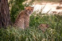 Cheetah sitting and starring at the camera. Royalty Free Stock Photos