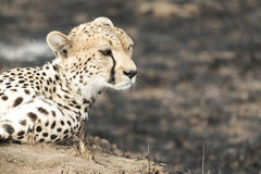 Cheetah sitting on a termite mound Royalty Free Stock Images
