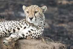 Cheetah sitting on a termite mound stock images