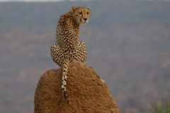 Cheetah sitting on termite mound in Namibia Royalty Free Stock Image