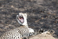 Cheetah sitting on a termite mound and yawning Royalty Free Stock Photography