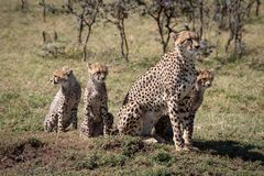 Cheetah sitting with three cubs near trees royalty free stock images