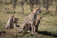 Cheetah sitting with three cubs by trees stock images