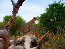 Cheetah sitting on tree Stock Images