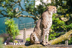 Cheetah sitting. In a tree, held in captivity Royalty Free Stock Photo