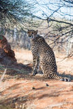 A cheetah is sitting under the tree cover at cheetahs farm. A cheetah is sitting under the tree cover at savanna woodlands of cheetahs farm at Namibia Stock Image