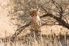 Cheetah sitting underneath shrub in Kalahari Stock Photo
