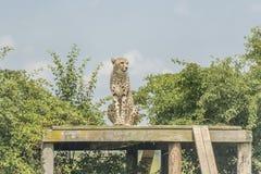 Cheetah. Sitting on wooden platform Royalty Free Stock Photography